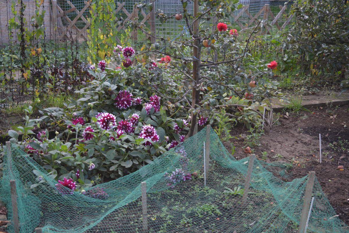 Géraniums, mufliers, et dahlias apportent encore de la couleur.