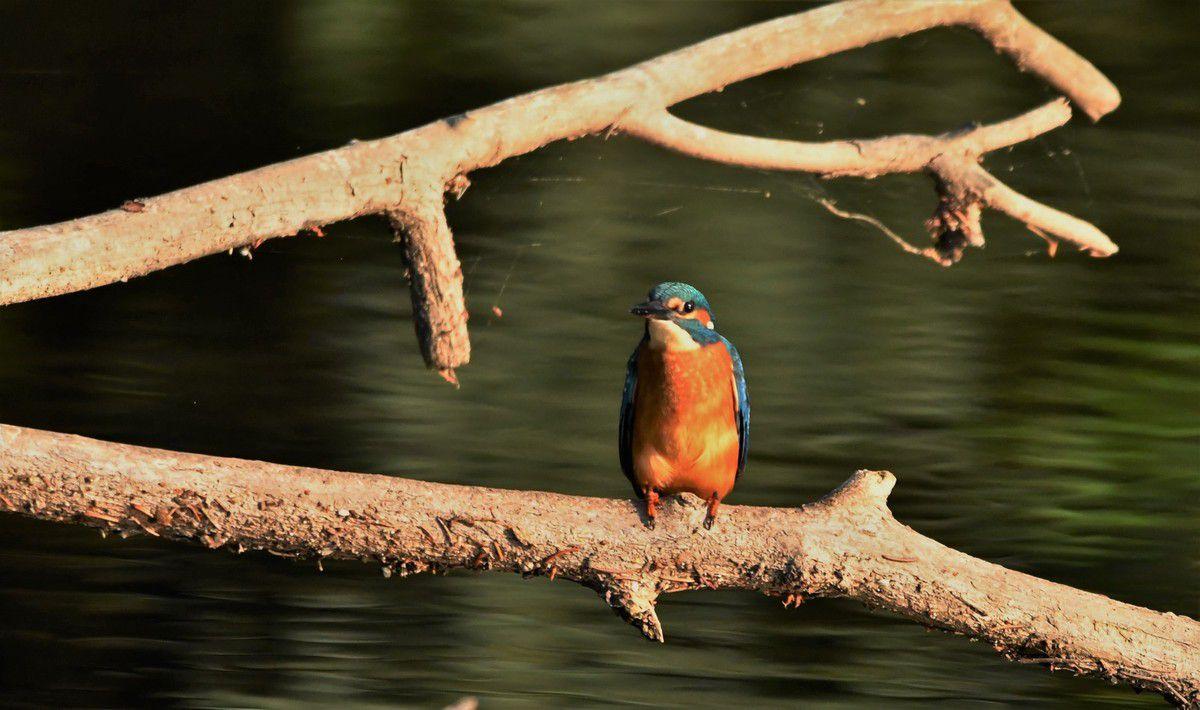 """Le martin pêcheur dit """"la flèche bleue"""" de nos rivières..."""