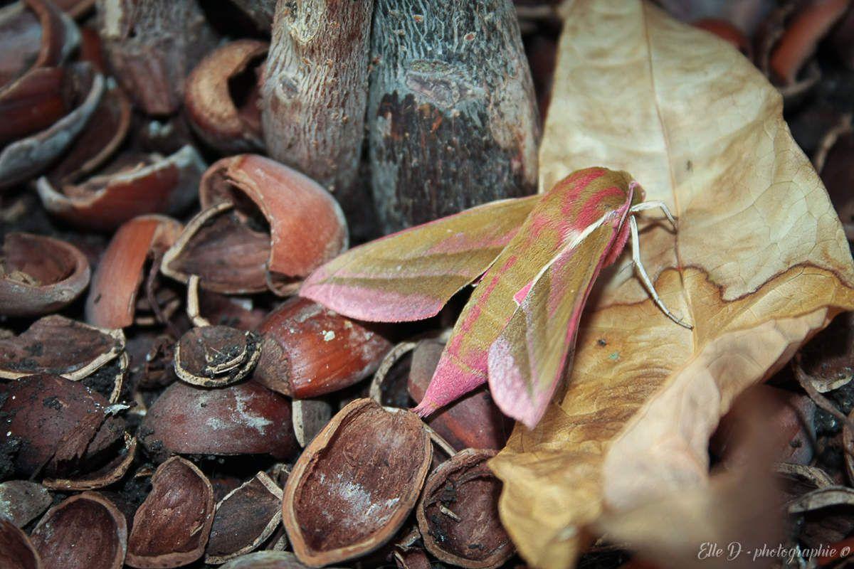 Le Grand sphinx de la vigne (Deilephila elpenor) donc il n'est pas étonnant de le rencontrer dans le vignoble jurassien !