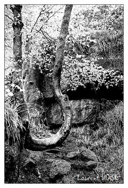 arbre tordu - chaos de huelgoat