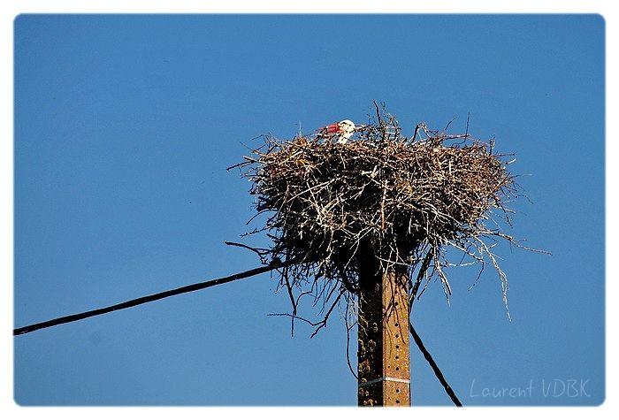 Cigogne dans son nid - Marais Vernier