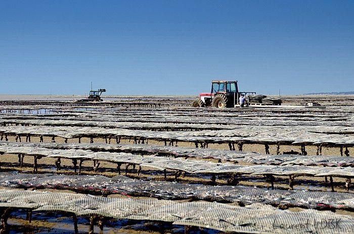 Ostéiculture : Parcs à huîtres et tracteurs en arrière-plan