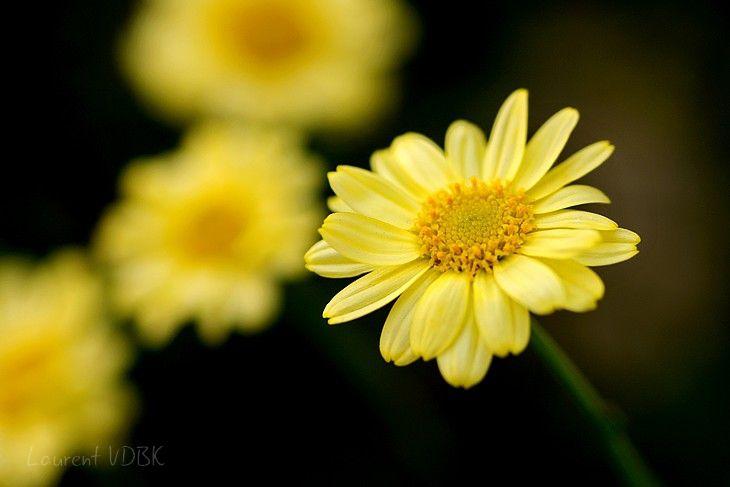Pâquerette jaune