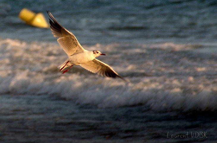 Mouette prenant son envol, éclairée par la lumière du soleil couchant, la mer en arrière-plan.