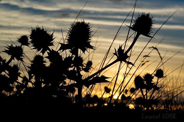 Panicaut maritime au coucher de soleil