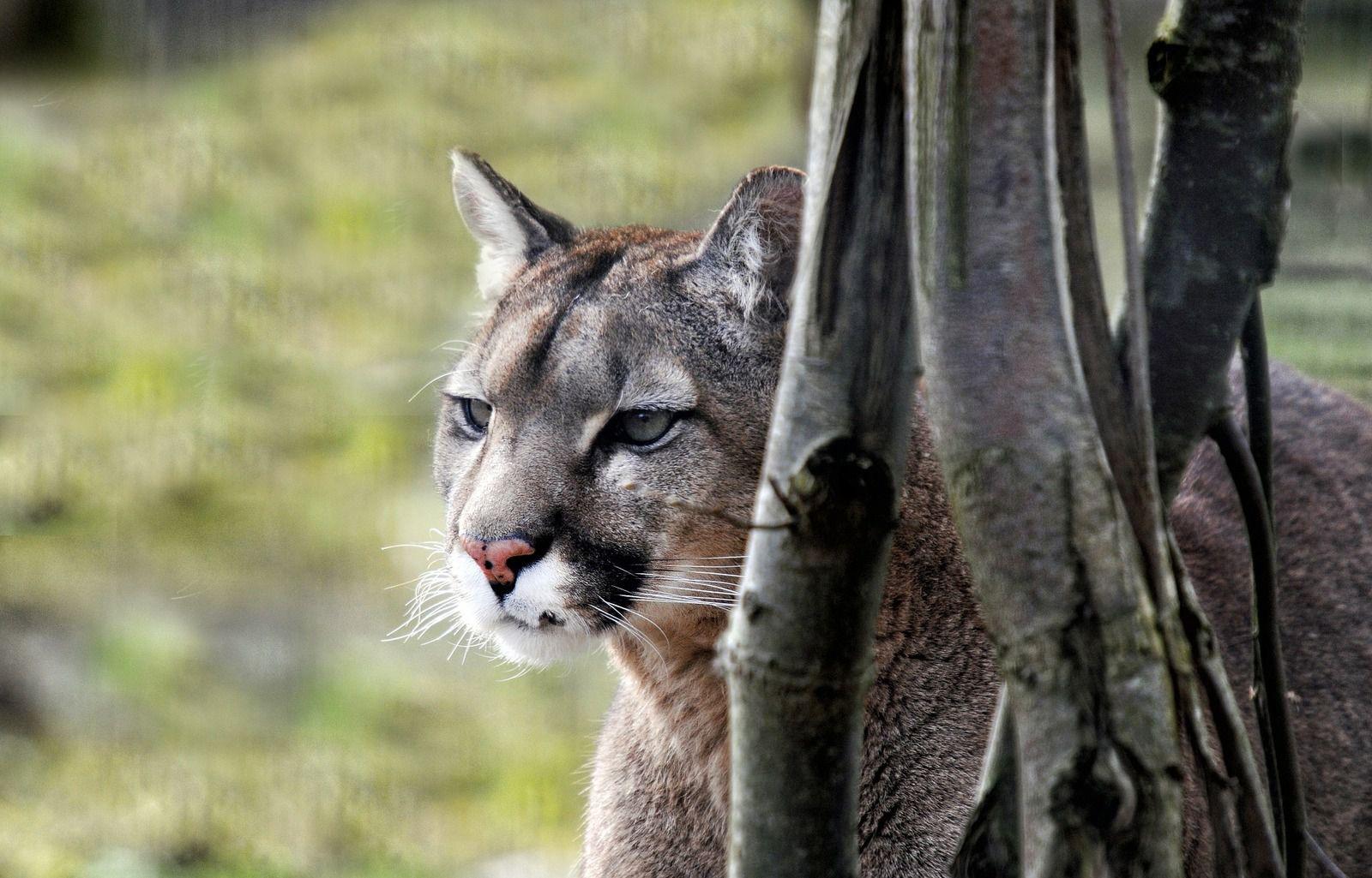 Puma (fotografía de ddouk en Pixabay.com)