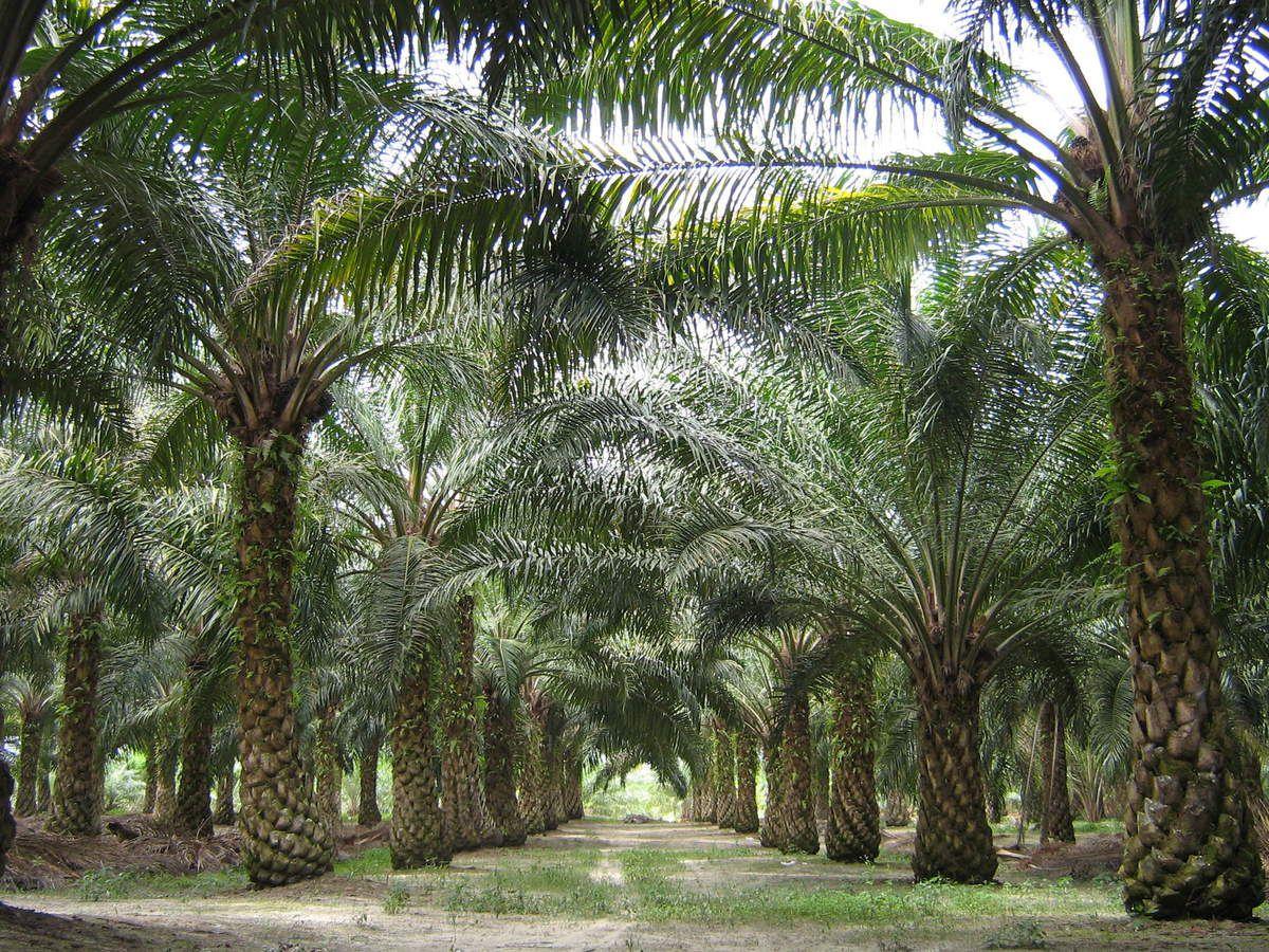 Culture du Palmier à huile - Palmeraie
