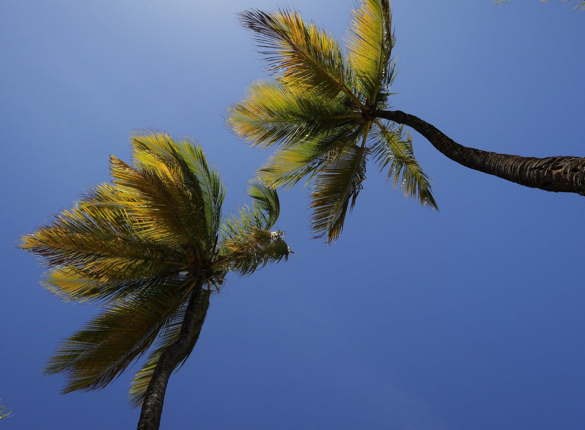 Palm Trees Of Peace...