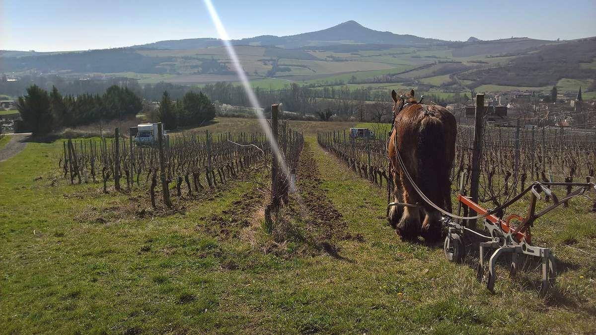 Mars - Vignes à Chidrac (63) chez François Dhumes