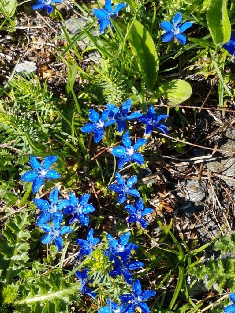 Les fleurs des Alpes (Rochemolles, Bardonecchia Juillet 2018)