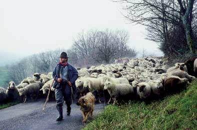 Spina di Campello: pastorizia e razze di pecore da latte