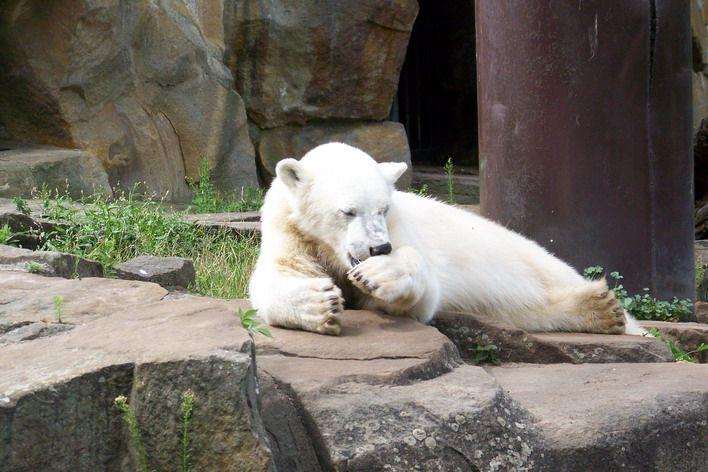 Erinnerung an Knut Juli 2008