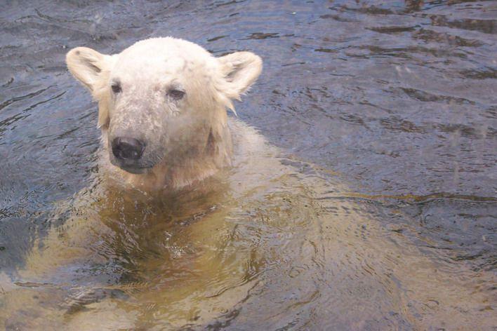 Erinnerung an Knut Mai 2008