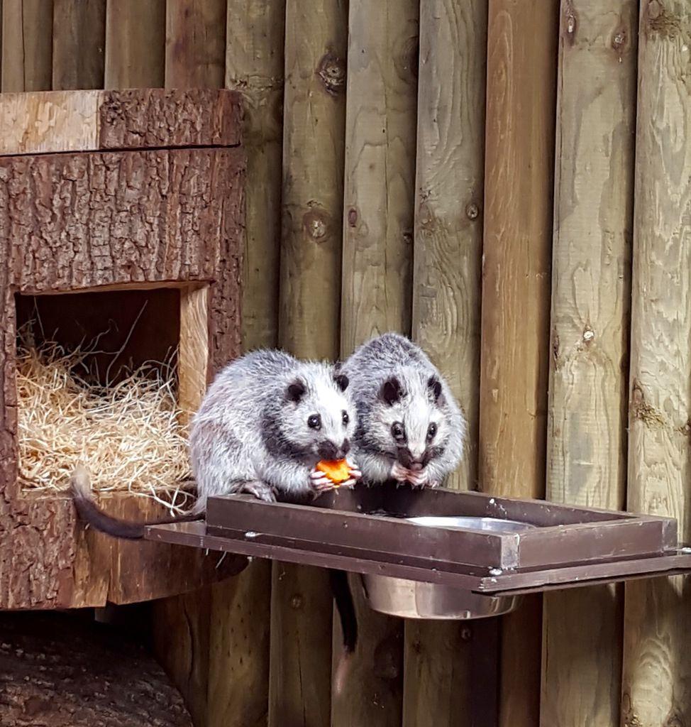 Le tapir malais du Jardin des Plantes