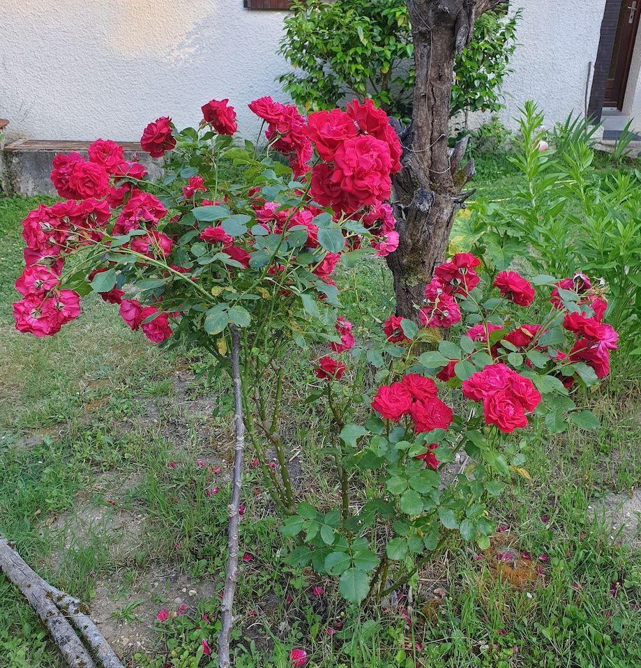 Mon rosier - 29 mai 2020