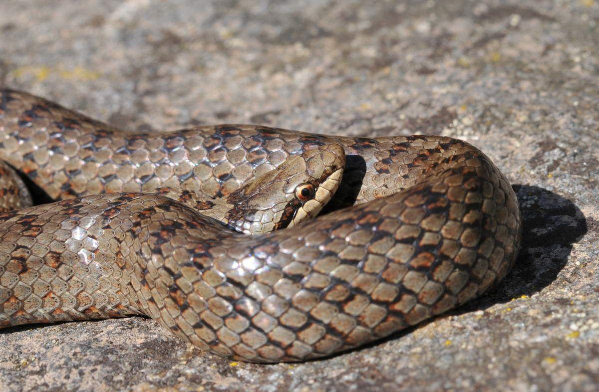 Coronella, un serpente poco conosciuto...tutto da scoprire!