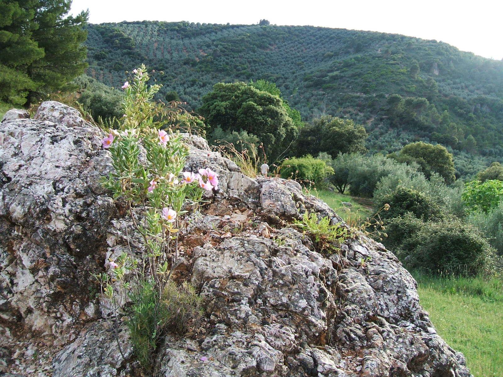 Cistus albidus (jara blanca). sobre una gran roca en La Cornicabra. Foto de 2006.