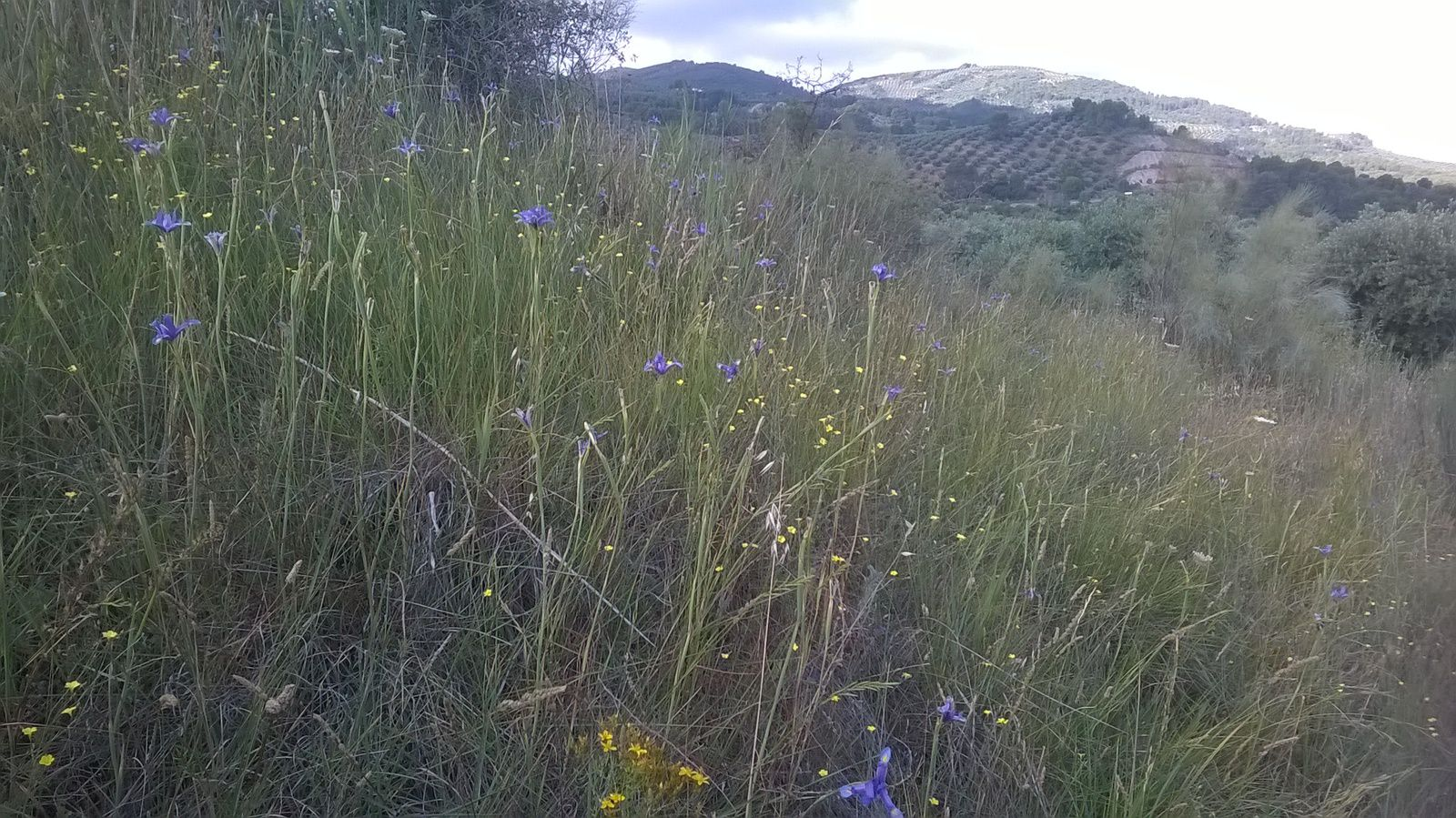 En primer término los lirios silvestres  (Iris xiphium) y al fondo, en mitad de la ladera de la montaña, El Tamaral.