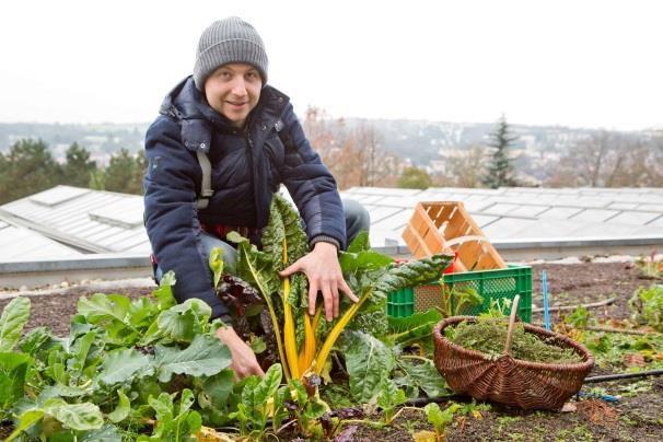 Gartenbauingenieur Florian Demling erntet Mangold, Thymian und Steckrüben im November vom dünnschichtigen Gemüsedach. Fotos: Meike Maser-Plag/LWG