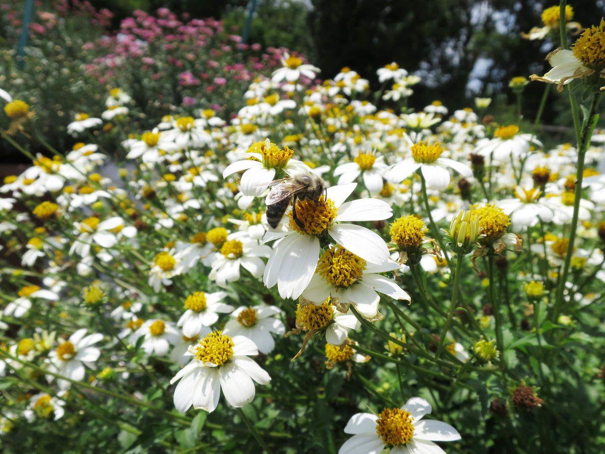 Nicht nur ein Augenschmaus, sondern auch Pollen- und Nektarlieferant für Biene und Co. – Bienenfreundliche Blumen, wie weiß blühende Bidens (Zweizahn), erfreuen sich auch auf Balkon und Terrasse einer immer größeren Beliebtheit.