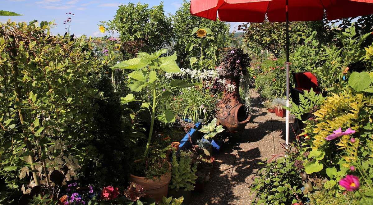 Ein Hochhaus ist ein eher ungewöhnlicher Ort für ein üppiges Pflanzenparadies. Und doch hat Manuela Hensel in den letzten zehn Jahren auf ihrer Dachterrasse einen Garten geschaffen, der auf kleinstem Raum größte Vielfalt bietet.  Genau wie in einem ebenerdigen Garten bilden auch hier Gehölze und Sträucher Räume, in denen sich die Rosen, Stauden, Sommerblumen, Obst- und Ziersträucher und Gemüsepflanzen zu reizenden Gartenbildern fügen - und das ausschließlich in Kübeln und Töpfen.