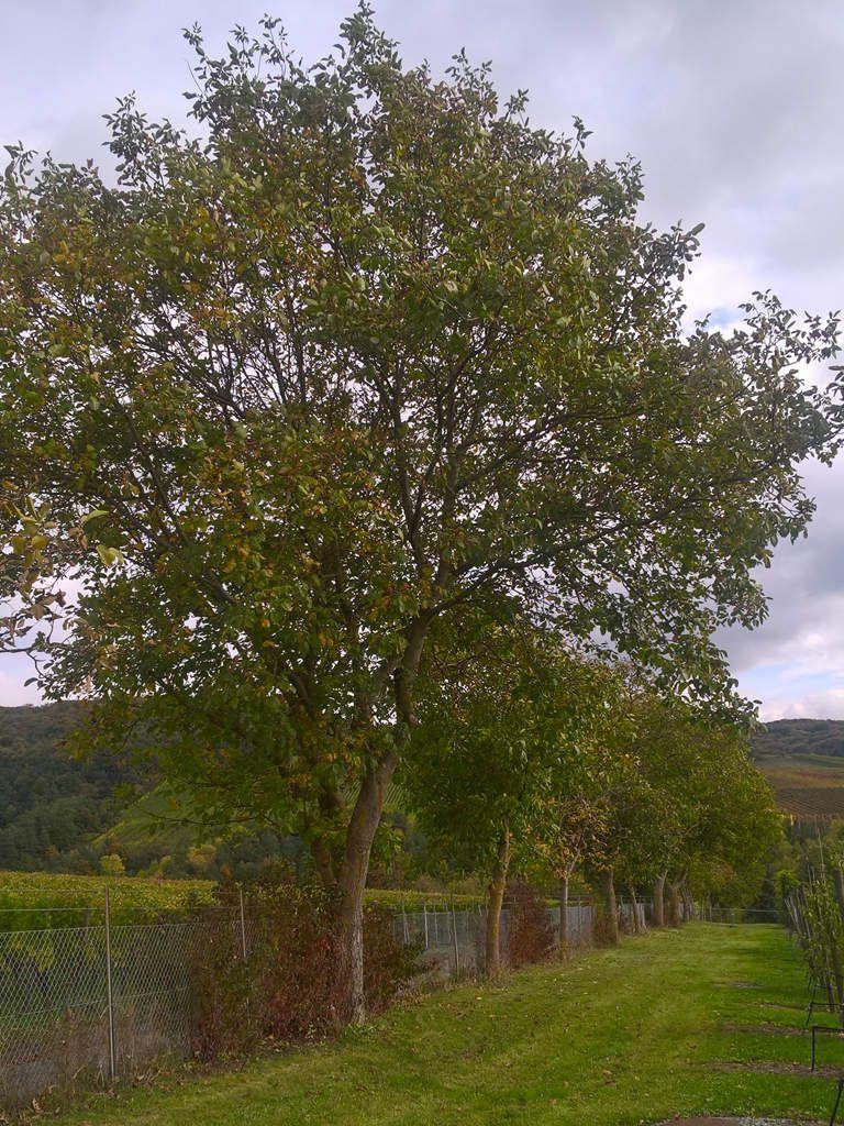 Ein Baum von einem Baum l Bis zu 25 Meter hoch und eine Kronenbreite von acht Metern: Ausgewachsene Walnussbäume sind keine Fliegengewichte und brauchen Freiraum. Auf einem Hektar (10.000 m²) haben gerade einmal 100 der sommergrünen Laubbäume Platz