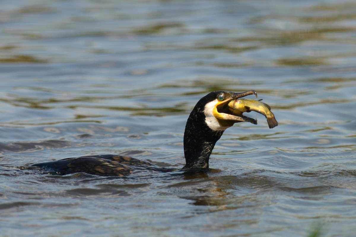 Les goélands, les Cormorans