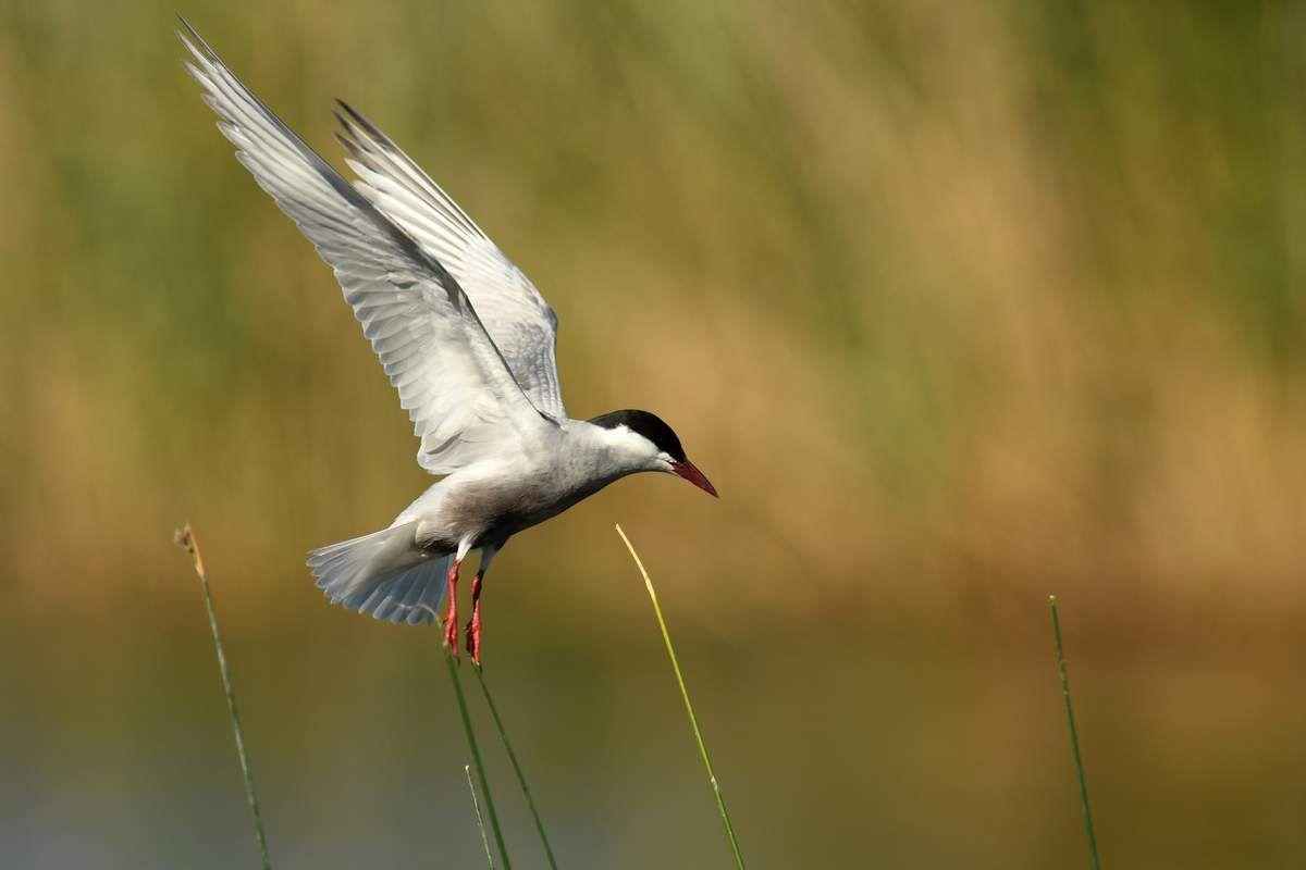 Les oiseaux d'eau douce