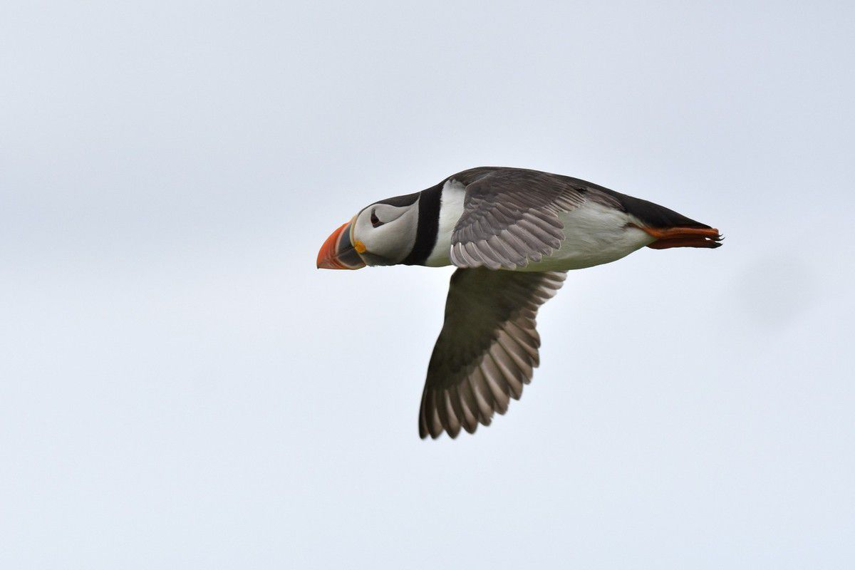 Oiseaux marins : Pingouin, Macareux, Guillemot