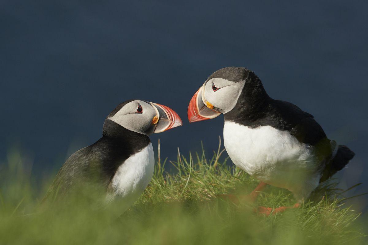 Oiseaux d'ailleurs : Islande, Gouadeloupe