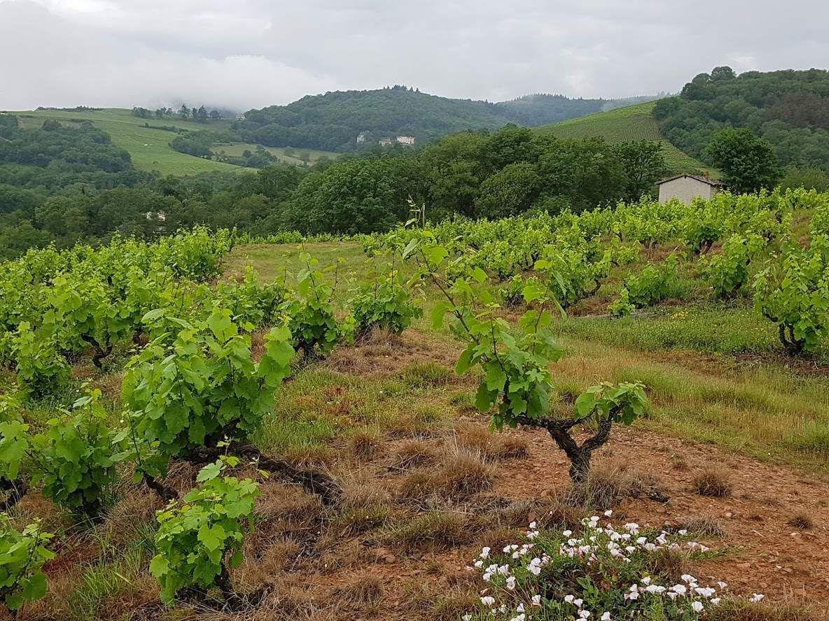 La vigne en mai