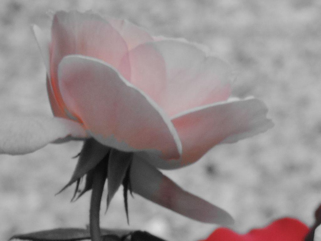 Le bal des roses psychédéliques