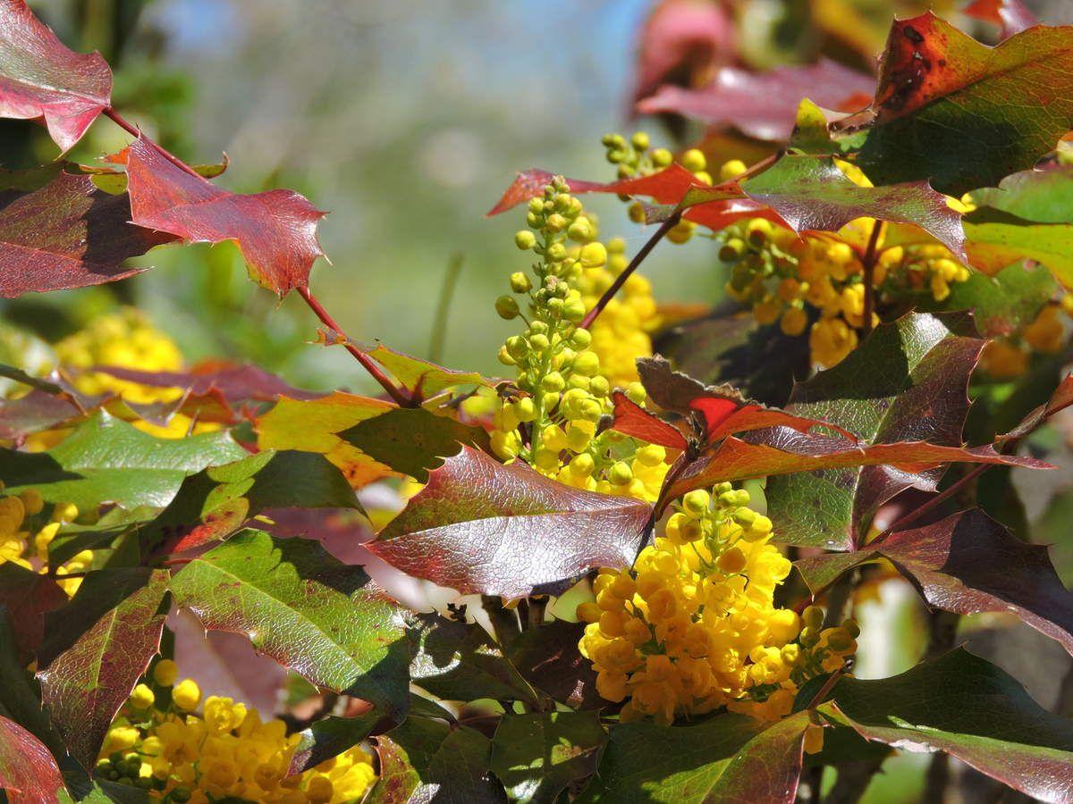 Le mahonia, mi-houx, mi-mimosa