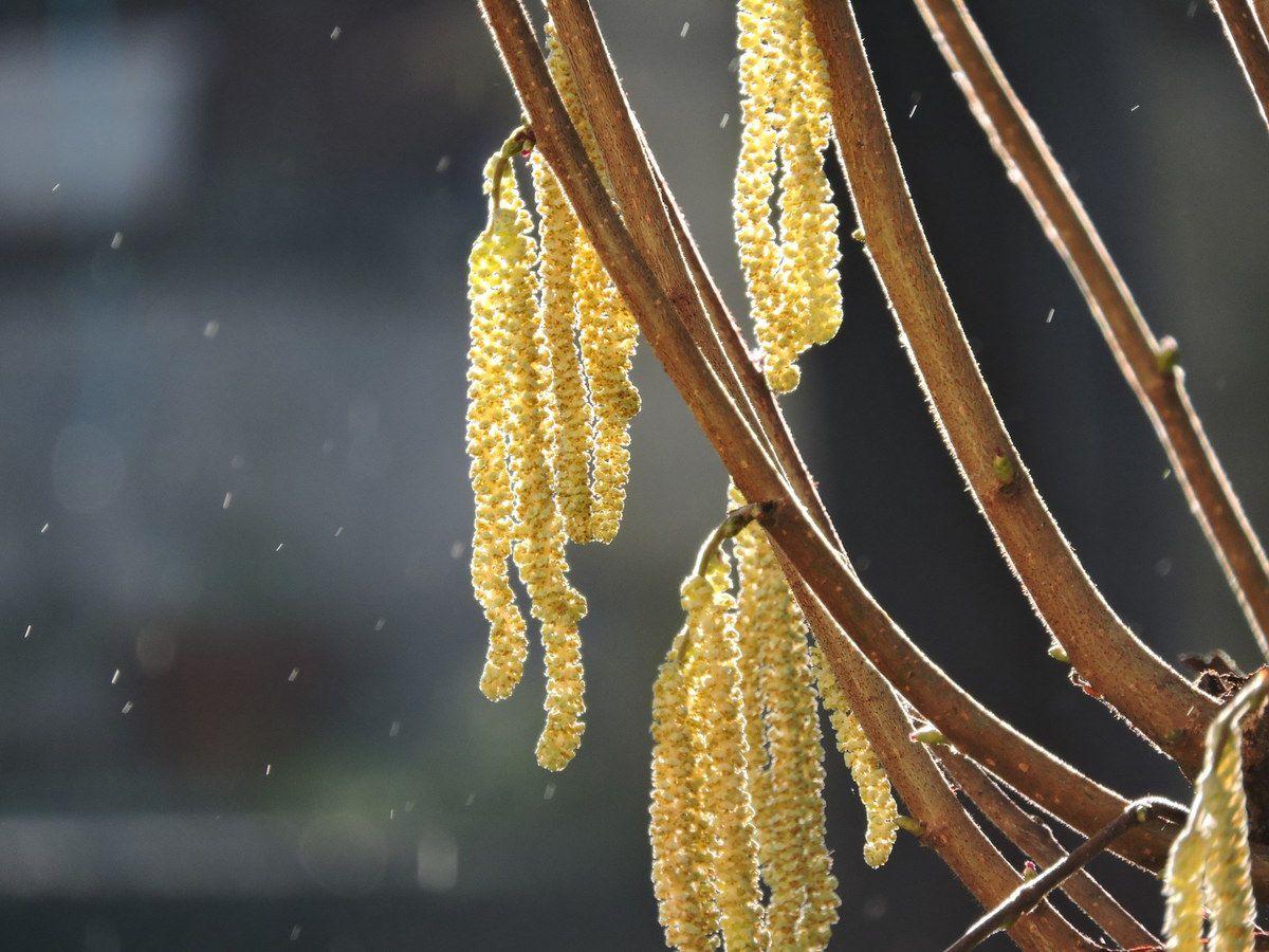 Les chatons du noisetier, ce matin. En arrière plan, les pins pleuraient au rythme du gel de la nuit fondant sous l'ardeur du soleil.