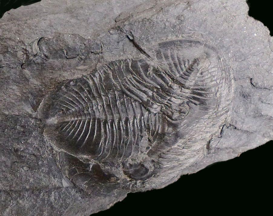 Nobiliasaphus nobilis