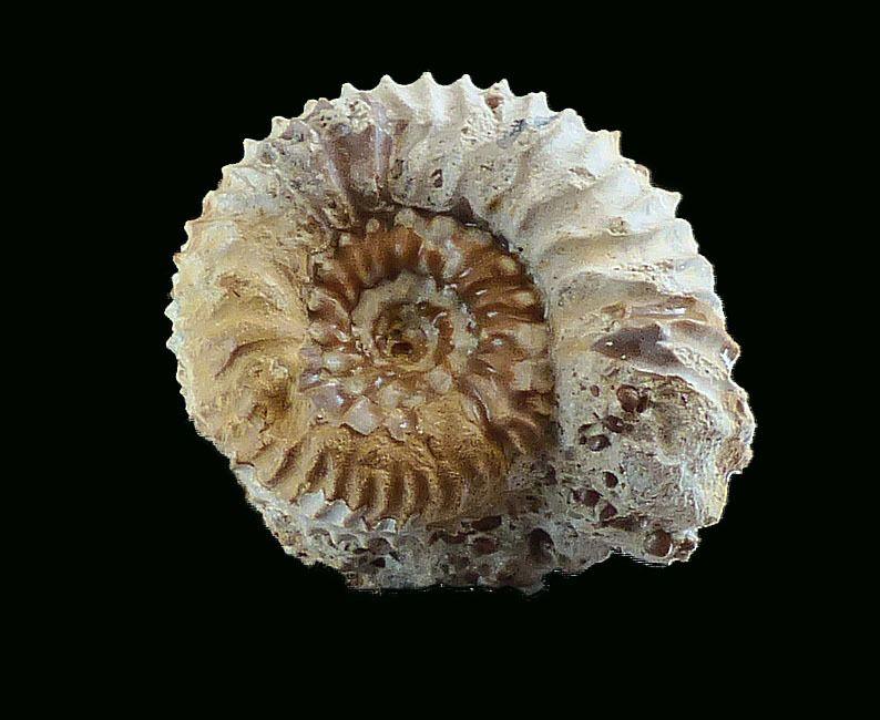 Album - Ammonites 4 zone à parkinsoni