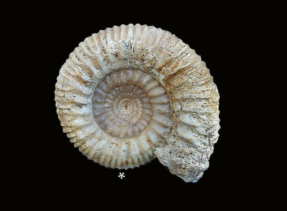 ammonites-phaulostephanus-microconque-Macroconque-calvados-bajocien