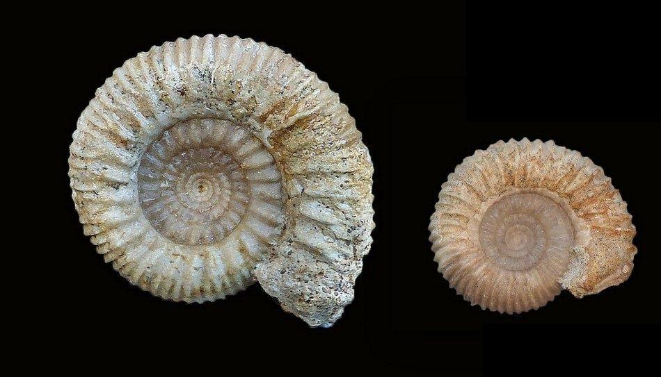 Phaulostephanus diniensis