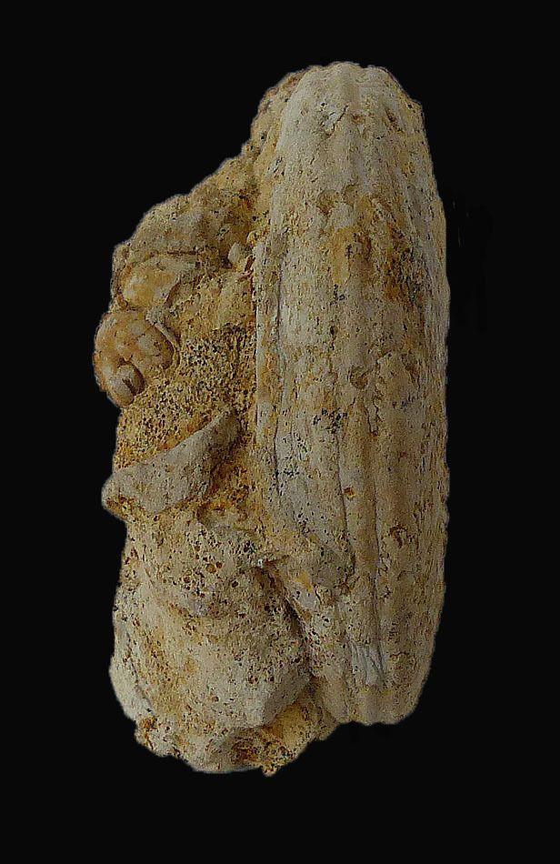 Sonninia (Euhoploceras) marginata