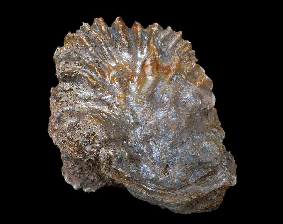 Lopha marshii