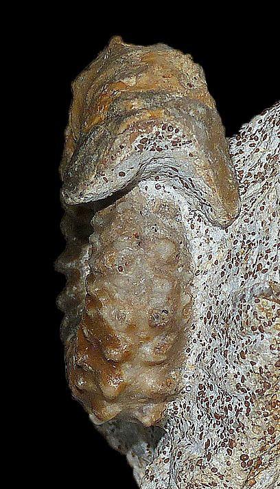 Strenoceras bigoti