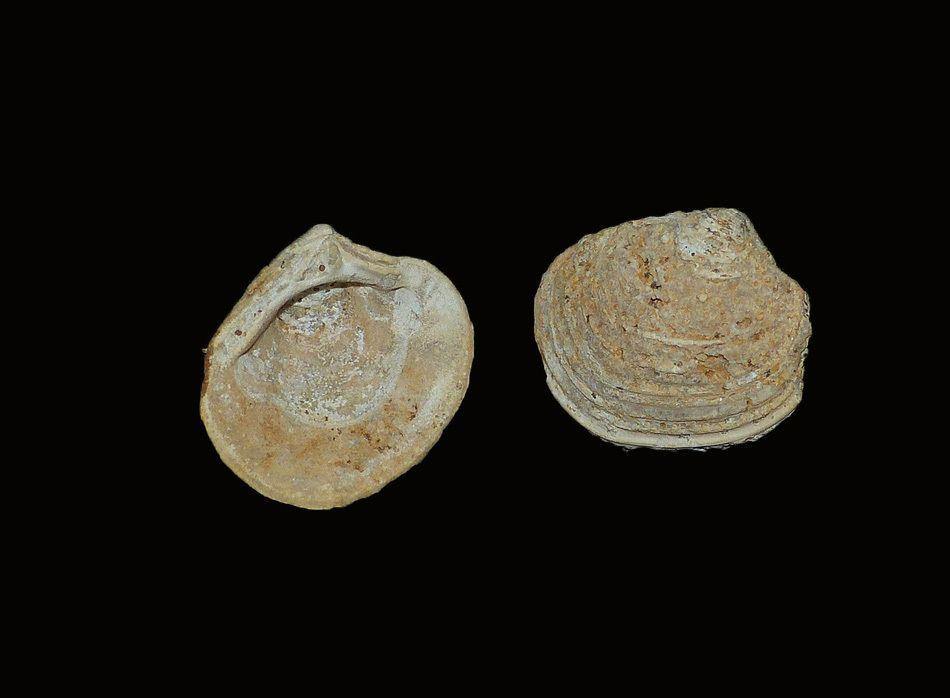 Unicardium calliope