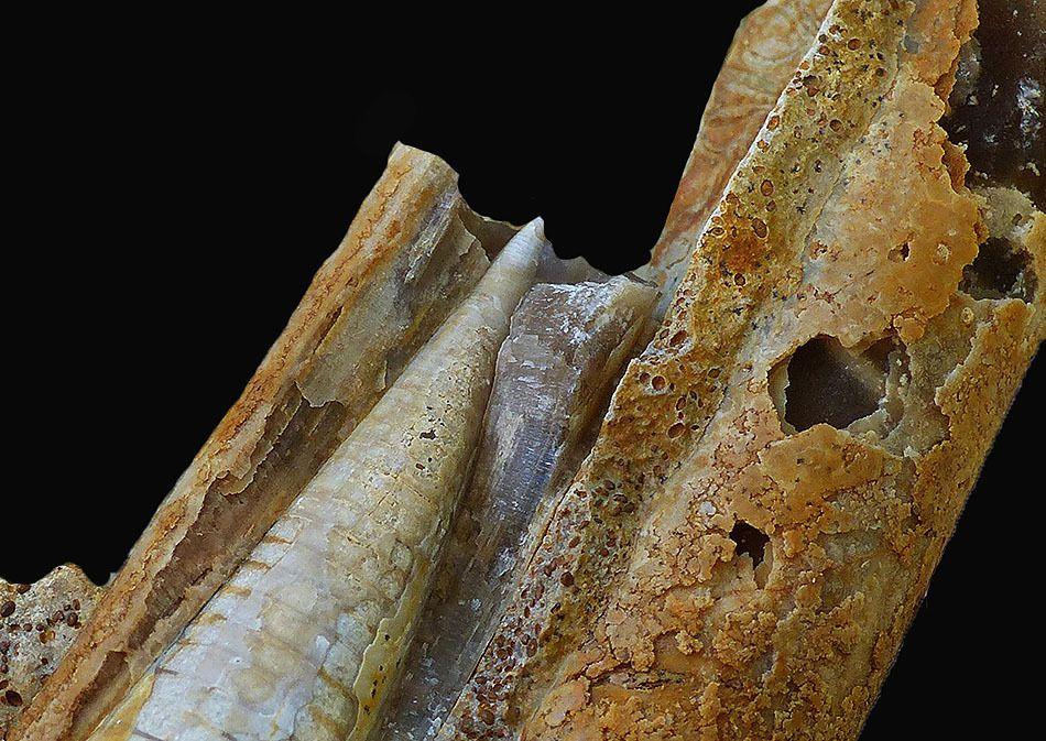 Belemnopsis sulcatus