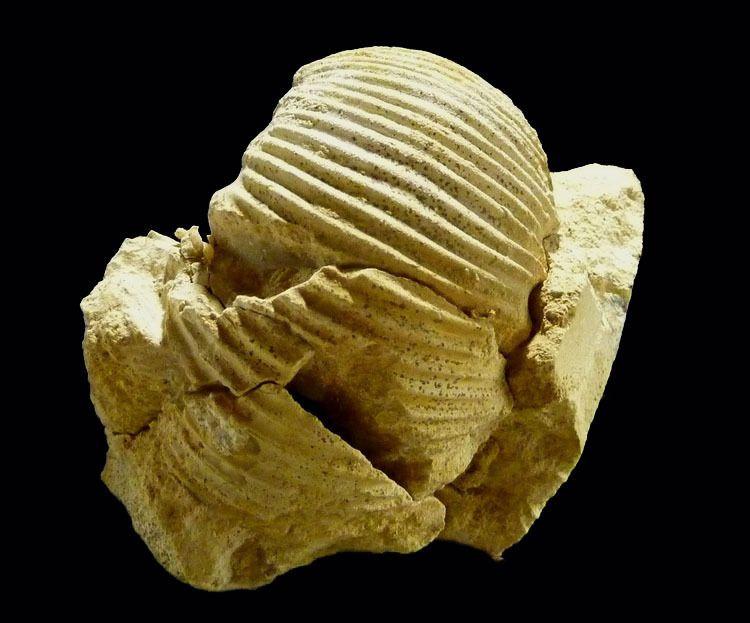 Ammonite-Pseudoteloceras-jurassique-Bajocien-Croisilles
