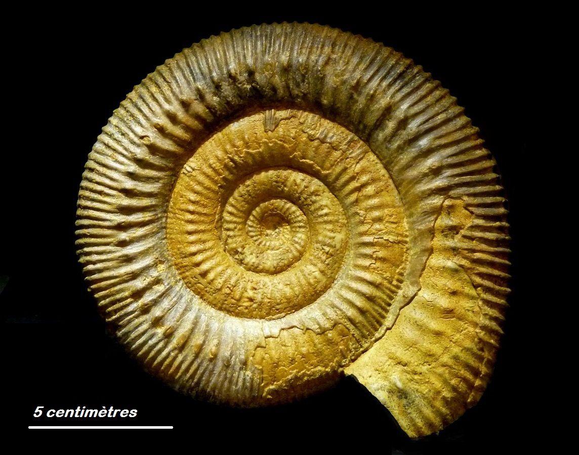 Ammonites-Calvados-Bajocien-Stephanoceras