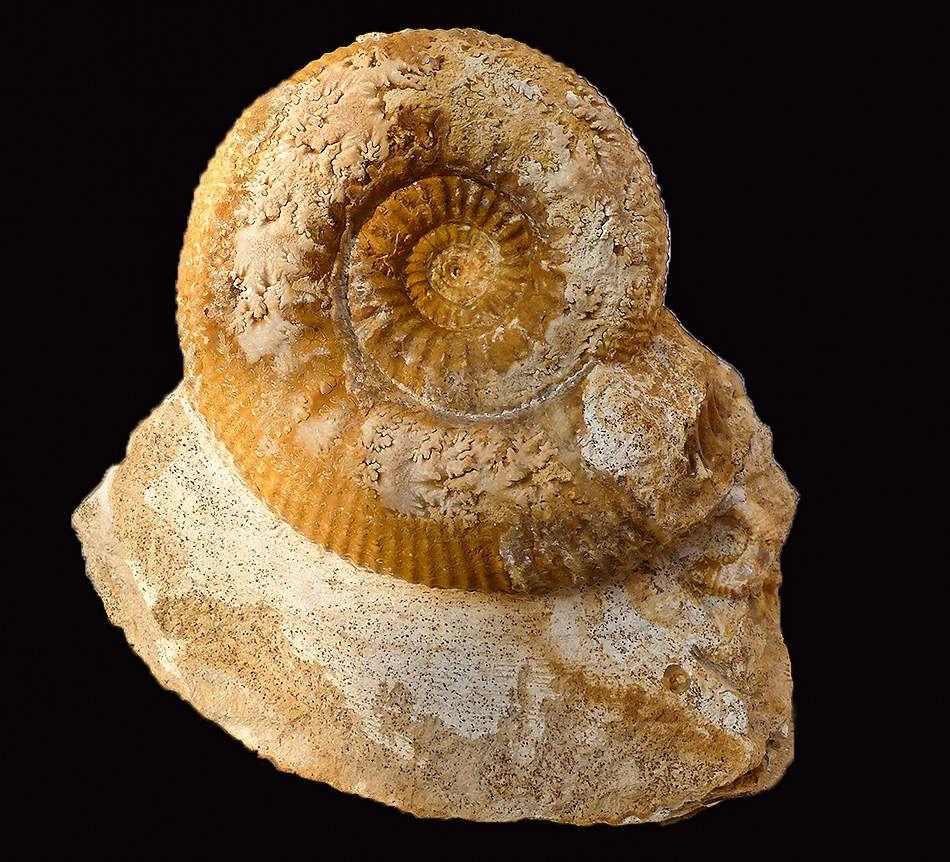 Stephanoceras gr. umbilicum