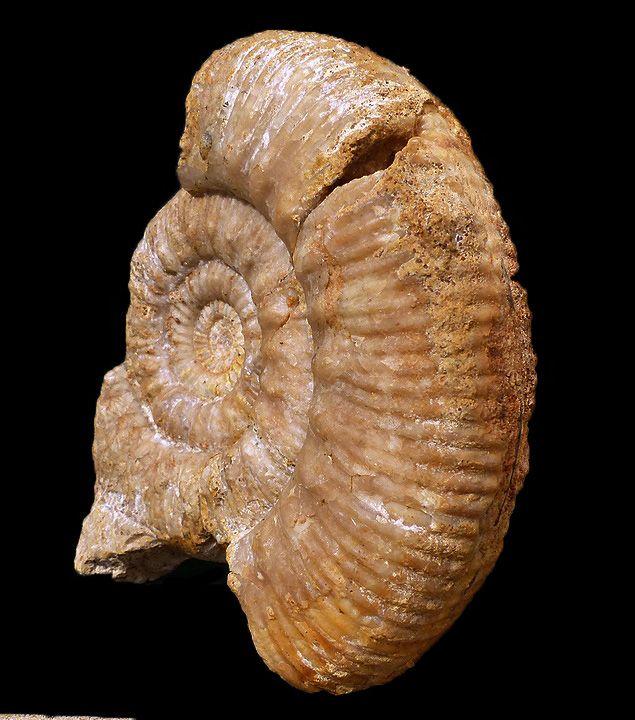 Skirroceras nodosum