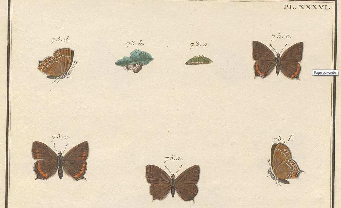 Le Porte-Queue brun à bandes blanches, Engramelle, Papillons d'Europe, planche XXXVI fig. 73 a-f