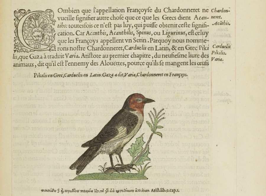 Chardonneret, in Histoire de la nature des oyseaux (1555) de Pierre Belon, Bnf Res-S-160 Gallica.