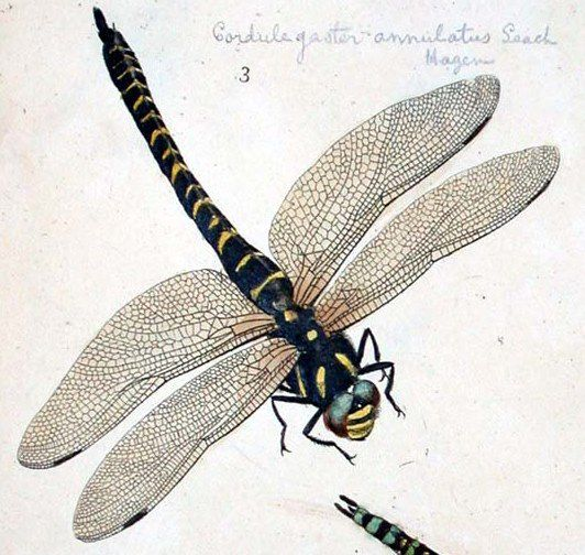 "Moses HARRIS, ""Libellula forcipata"" (sic) ""An exposition of English insects"",Pl. XXIII,  https://upload.wikimedia.org/wikipedia/commons/4/45/Moses_Harris01.jpg"